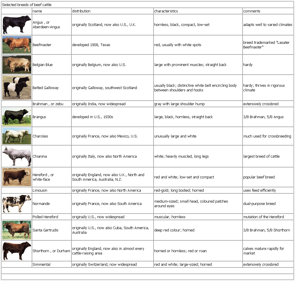 selected breeds of beef cattle. Black Bedroom Furniture Sets. Home Design Ideas